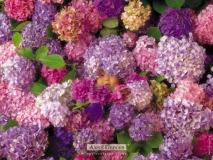 Anne-geddes-baby-photo-purple-flowers-hydrangeas